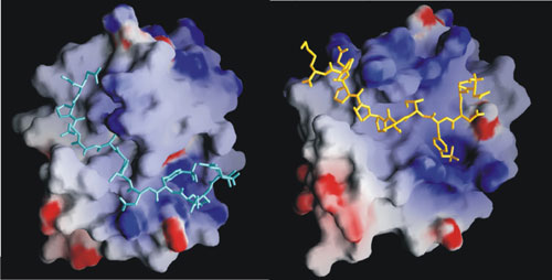 Picture of a small molecule binding to a pocket in a protein.